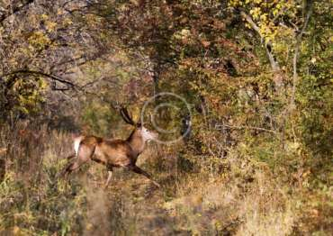 Hunting for red deer